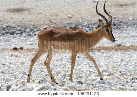 Horned Impala