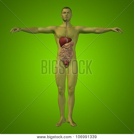 Concept or conceptual anatomical human or man 3D digestive system on green background