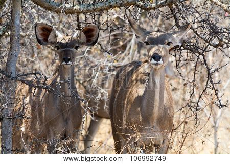 Kudus Hiding In Bushes