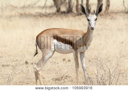 Portrait Of A Young Springbok