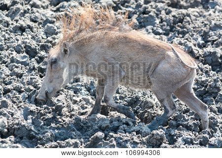 Young Warthog In The Mud