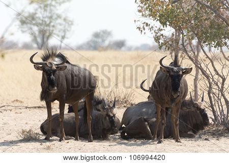 Group Of Blue Wildebeests Seeking Shadow