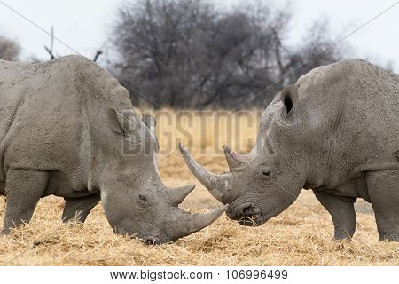 Couple Of Rhinoceros.