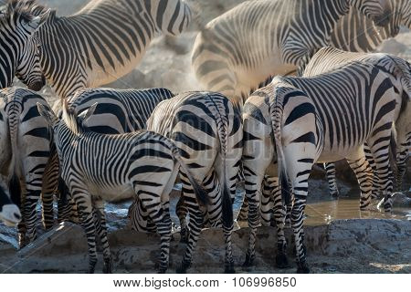 Some Zebras Back At Waterhole.