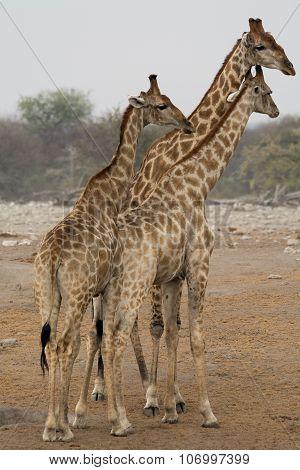 Three Giraffes Looking Right
