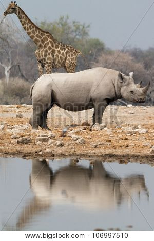 Giraffe And Rhino At Waterhole
