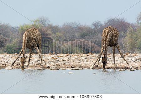 Two Giraffes Drining
