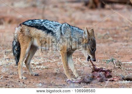 Blackbacked Jackal Eating Meat