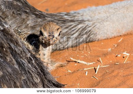 Closeup Of An Ostrich Chicken Lying At Her Mother In Red Sand.