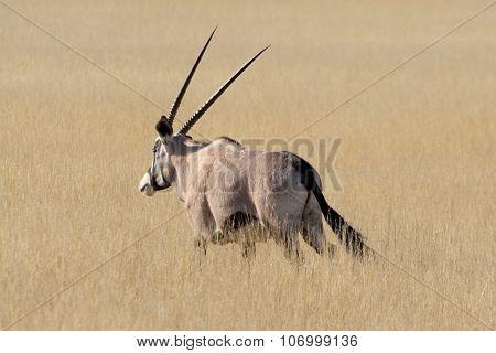 Oryx In Grassland.