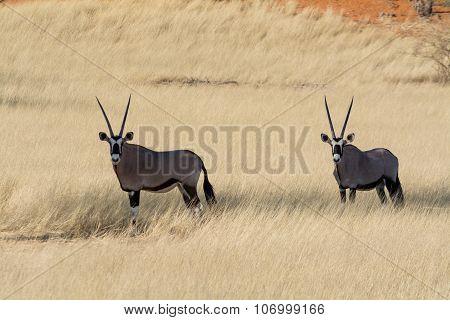 2 Oryx In Grassland.