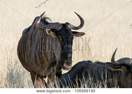 Blue Wildebeest In Grassland.