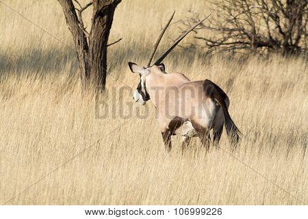 Gemsbok In Grassland.