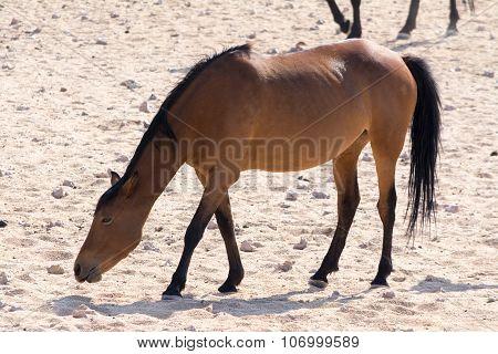 Wild Horses Near Waterhole.