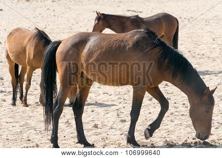 Wild Horses Near Waterhole.
