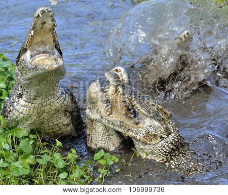 Attack Crocodile. Cuban Crocodile (crocodylus Rhombifer).