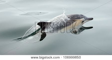 Dolphin, Swimming In The Ocean