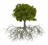 Постер, плакат: Дерево и корень