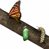 stock photo of monarch butterfly  - a monarch butterfly in differing stages of life from caterpillar to cacoon to butterfly - JPG