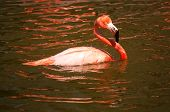 Swimming Flamingo