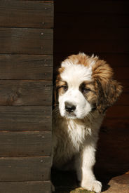foto of dog-house  - young puppy loking from his dog house at the old farm - JPG