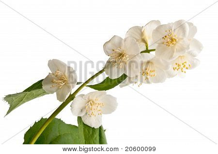Sprig Of Jasmine