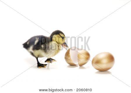 Duckling with golden eggs