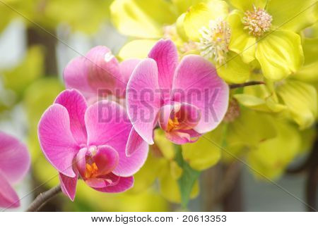 Two Pink Orchid Faces