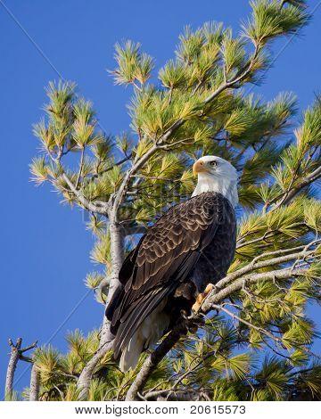 Águila calva escanea el cielo orgullosa