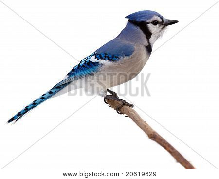 Bluejay Scans Its Surroundings