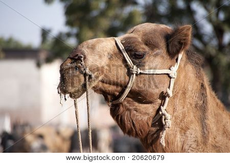 Head of camel with beard at Nagaur's cattle fair in Rajasthan.