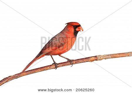 Male Cardinal Balances A Seed