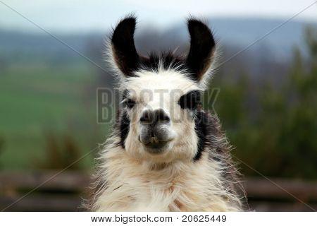 Llama Portrait