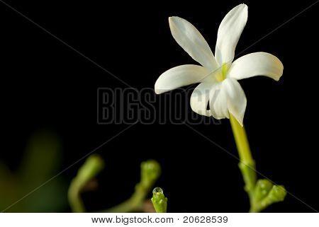Closeup view of Jasmine flower