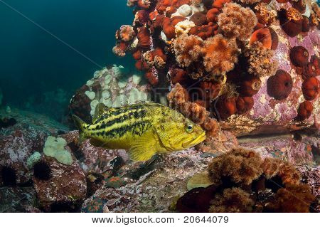 Threestripe Rockfishes & Hidden Octopus Under Water