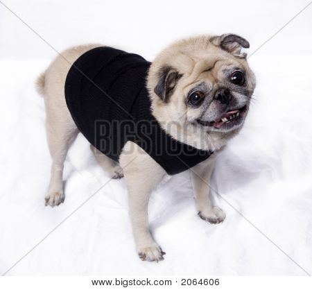 Cute Pretty Little Pug Dog