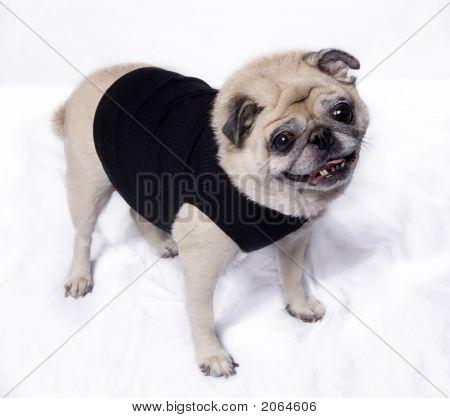 Pretty Little cute Pug Dog
