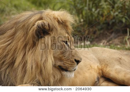 African Lion Portrait 5