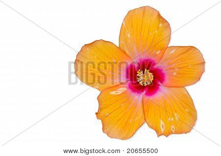 Orange Hibiscus Flower, Thailand.
