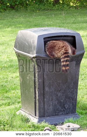 Raccoon scavenging for garbage