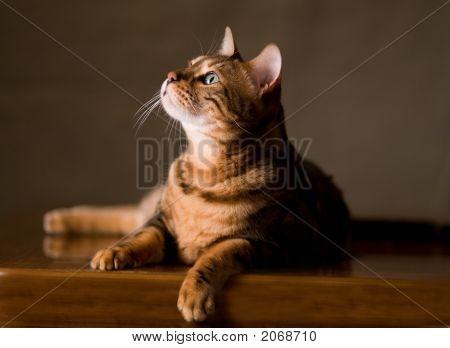 Regal Cat In Repose