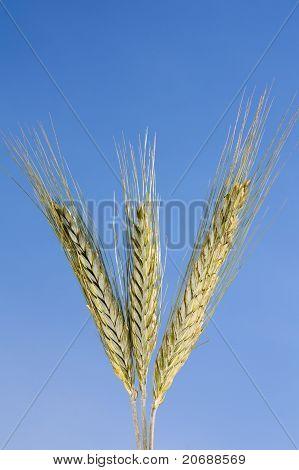 Wheat against a blue sky