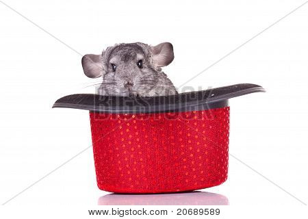 Young Chinchilla In A Hat
