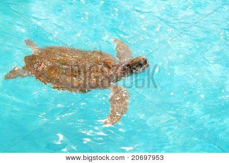 Green sea Turtle Chelonia mydas  Caribbean sea Cheloniidae water surface