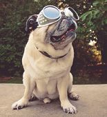 an adorable pug sitting in a park with aviator goggles on toned with a vintage retro instagram filte poster