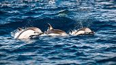 Three beautiful striped dolphins in the sea, amazing gorgeous elegant animals, underwater mammals, a poster