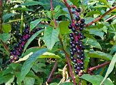 picture of pokeweed  - Poisonous pokeweed plant with its purple berries - JPG