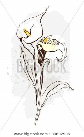 Calla. Floral illustration of blooming flowers