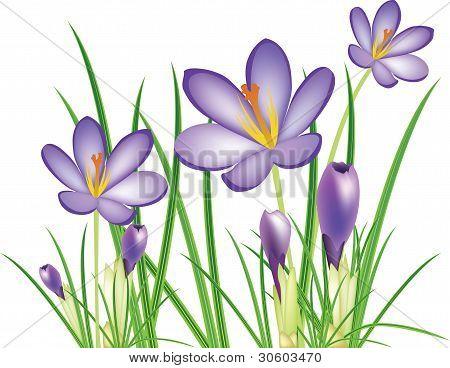 Frühling Krokusse Blumen, Vektor-Illustration