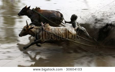 SUMATERA - FEBRUARY 11: A jockey astride a harness strapped to the bulls takes part in a bull race called pacu jawi on Feb 11, 2012 in West Sumatera, Indonesia. It is held after a rice harvest season.